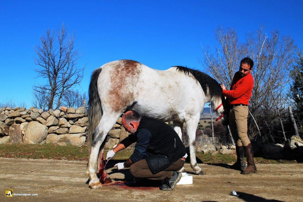 Durius Aquae: El caballo herido