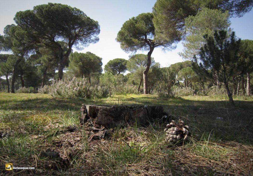 Durius Aquae: Pinar de Antequera