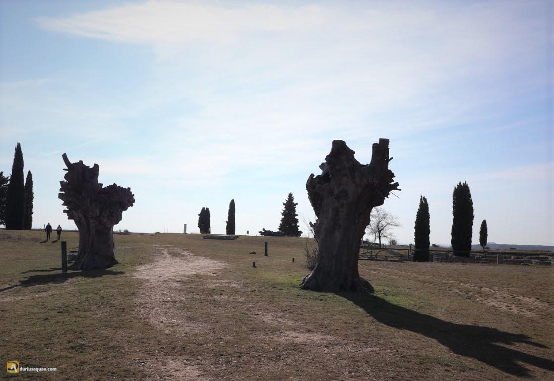 Olmos cadavéricos sobre las ruinas de Clunia