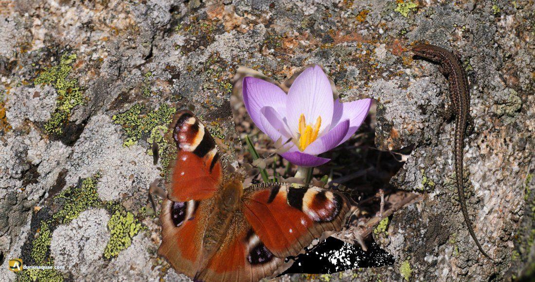 Durius Aquae: crocus, mariposa y lagartija