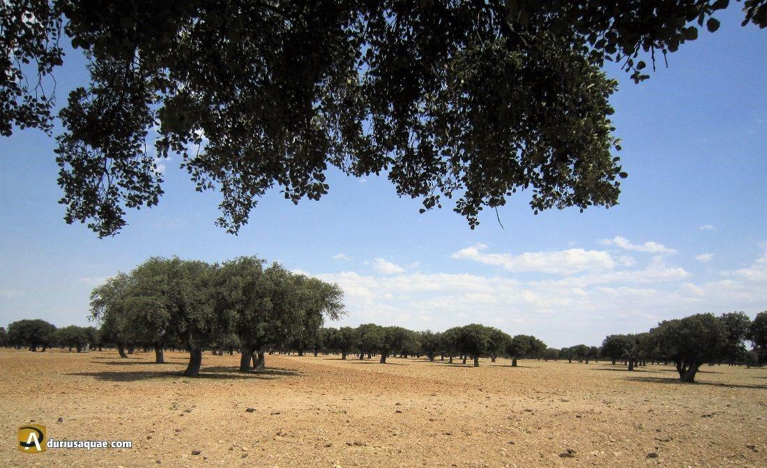 Durius Aquae: dehesa del Cantalpino