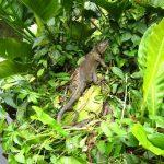 Iguana en la selva de Costa Rica