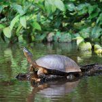 Tortuga en la selva de Costa Rica