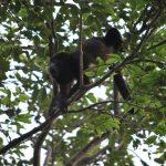 Mono aullador, Costa Rica