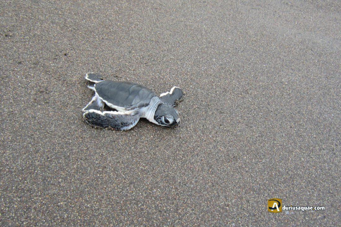 Durius Aquae; tortuga verde recién nacida buscando el mar