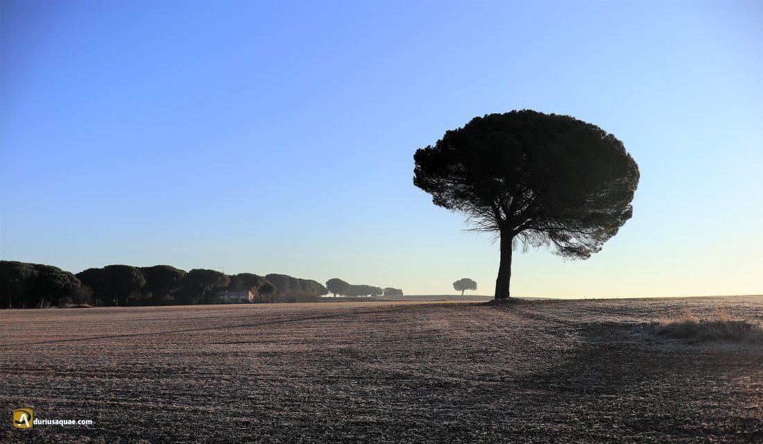 Durius Aquae: El pino de La Revilla. ¿el más grande de Laguna?