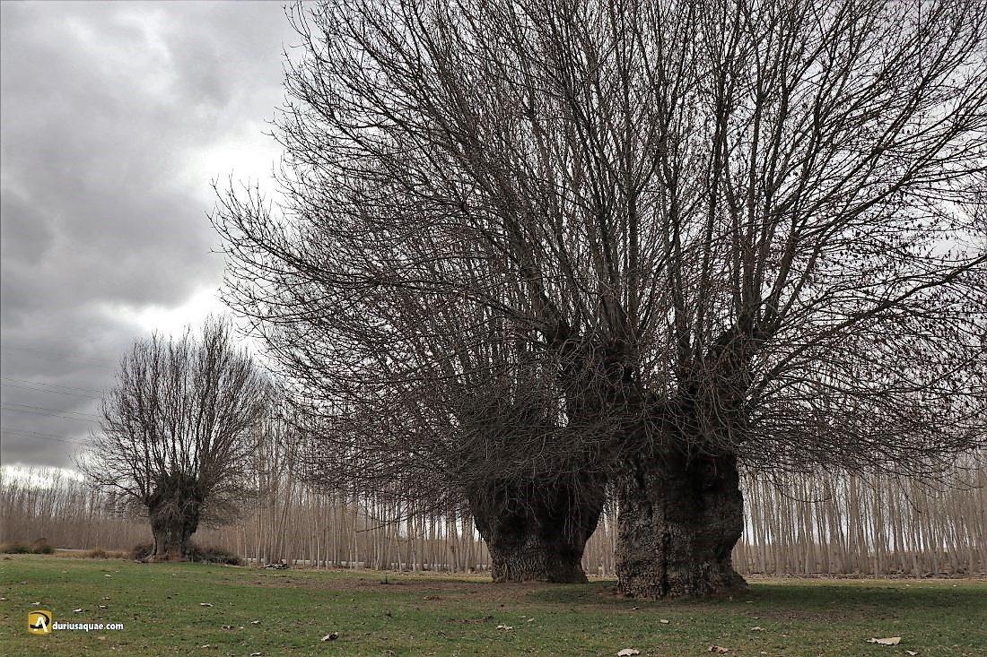 Durius Aquae: Los fresnos centenarios de Añe