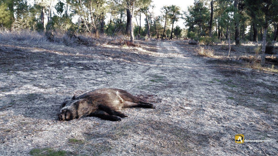 Durius Aquae: Una jabalina muerta en el camino
