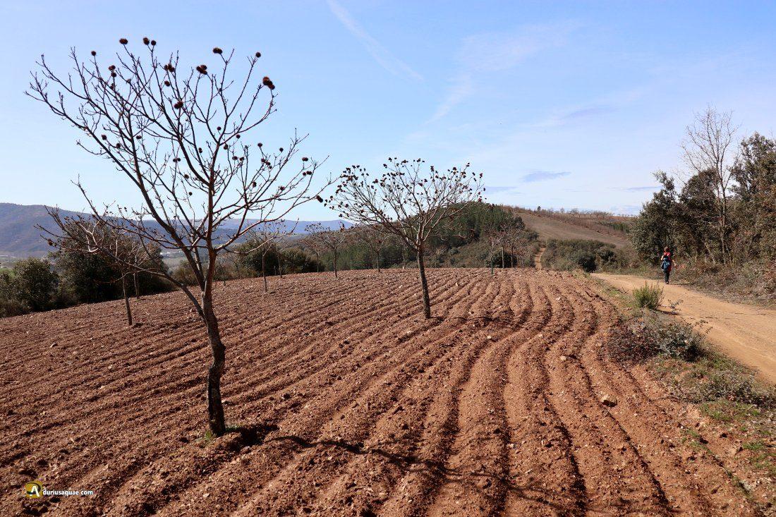 Durius Aquae: campo de castaños en la loma