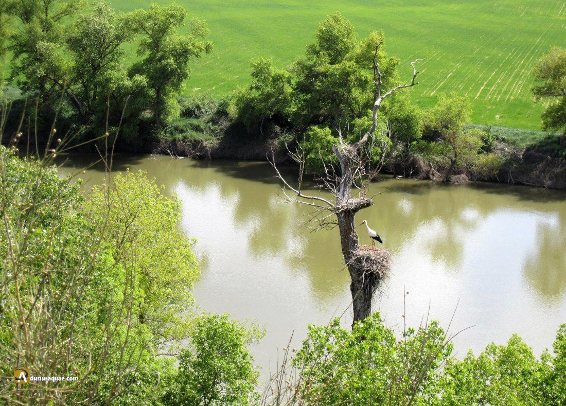 Durius Aquae: Cigüeña en el Duero