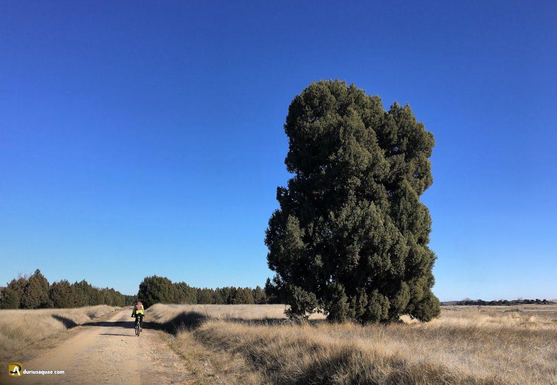 Durius Aquae: La Pica o Picota, enorme sabina de 500 años