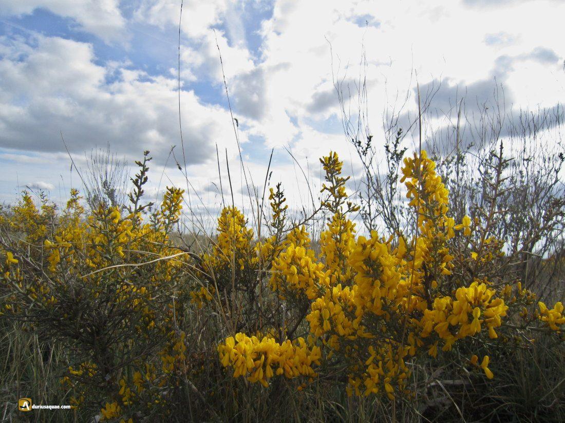 Durius Aquae: Tiempo de aliagas en flor