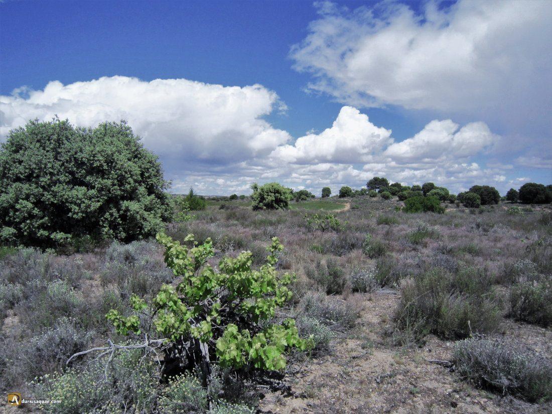 Durius Aquae: Ribera de Duero; majuelos perdidos