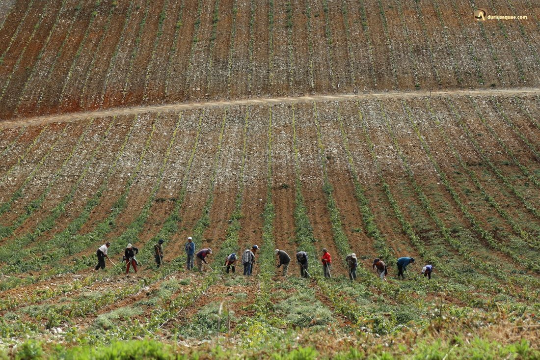 Durius Aquae: Trabajo en las viñas