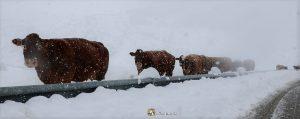 Montaña de Riaño, vacas a la intemperie en la carretera