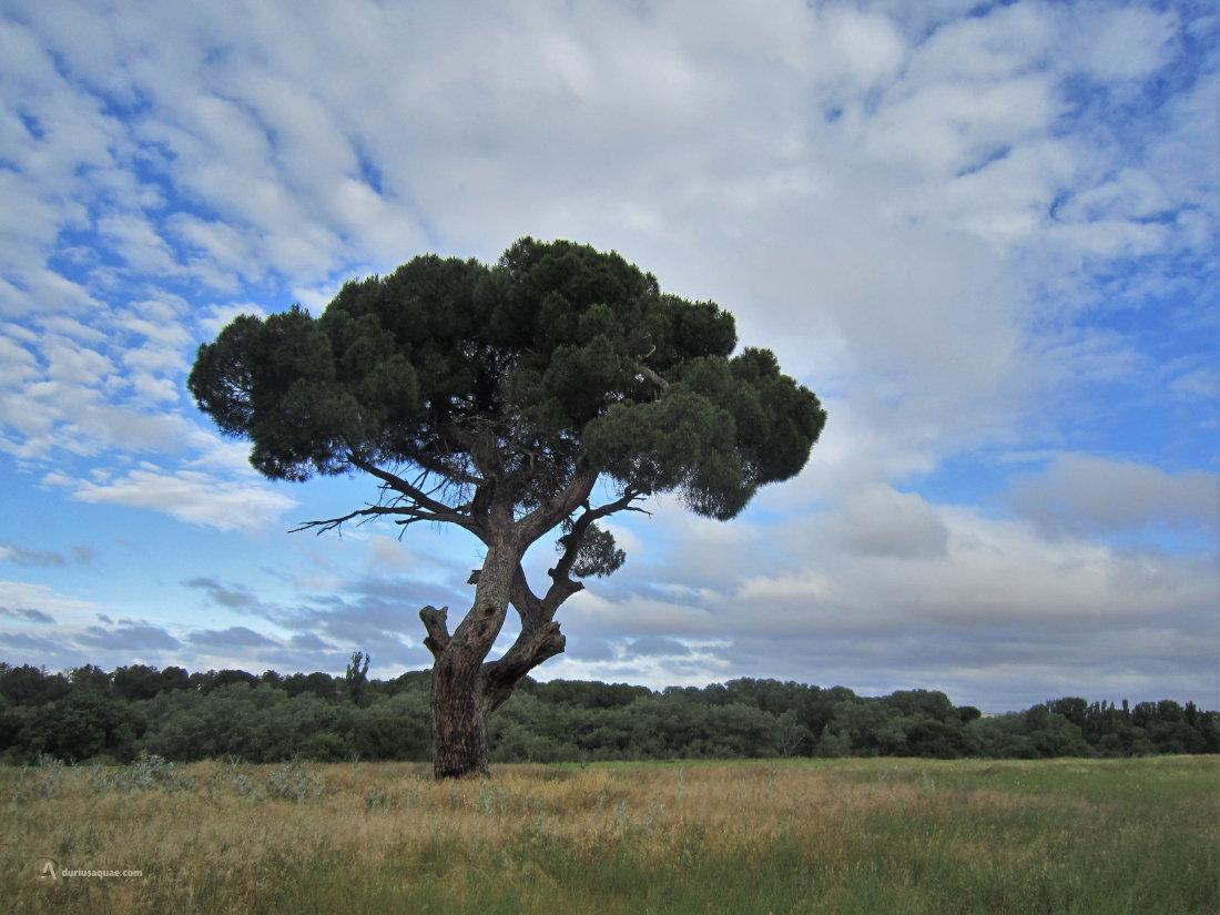 Viejo y decrépito pino en Las Abogadas