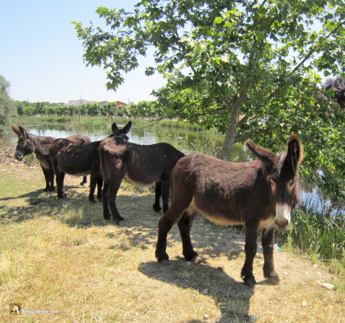 Durius Aquae: burros zamoranos pastando en Santa Croya