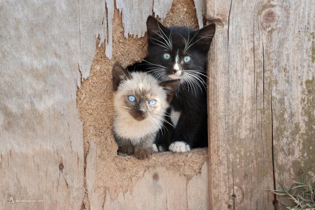 Durius Aquae: gatitos