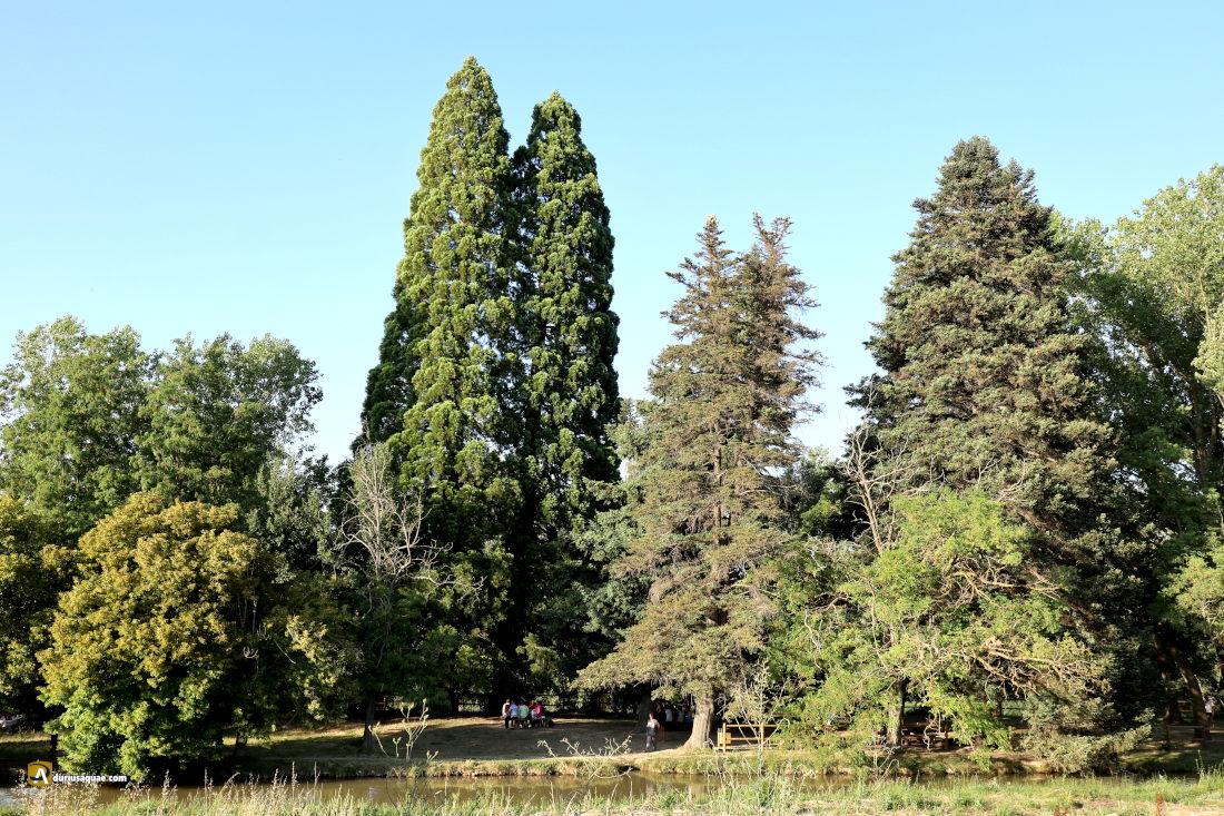 Sardón de Duero. secuoyas gigantes de california