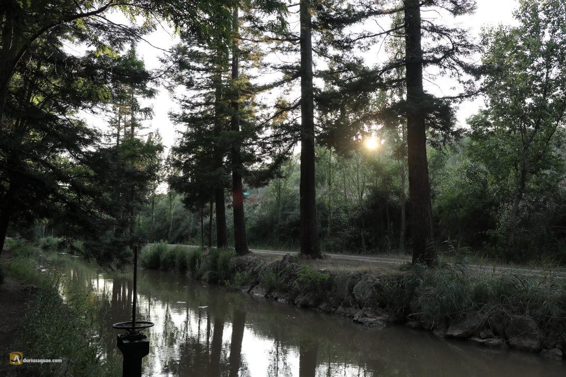 Algunos pies de secuoya roja junto al canal del Duero en la Cistérniga